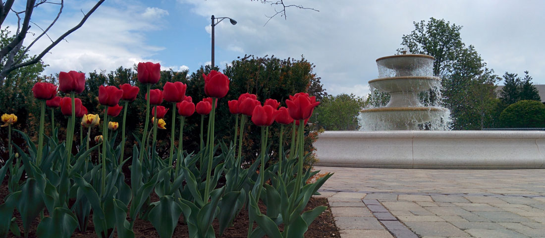Tulips by fountain image